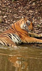 male Bengal Tiger at dusk | one evening a male Tiger was ...