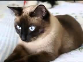 Siamese Cat Youtube