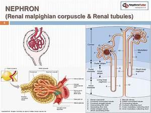 Nephron Kidney Anatomy Diagram