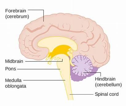 Brain Forebrain Human Midbrain Hindbrain Parts Functions