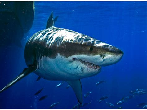 Great White Attacks Boat In Gulf by Great White Shark Attacks Fishing Boat Clearwater Fl Patch