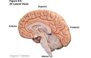 Human Brain Diagram Unlabeled