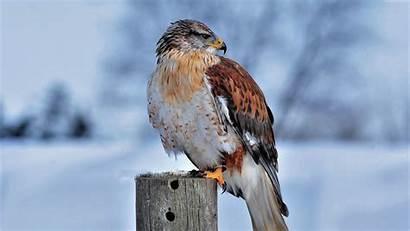 4k Hawk Snow Bird Birds Wallpapers Winter