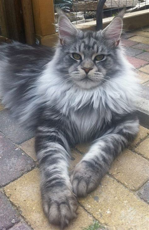 Do Maine Coons Shed Their Mane by 25 Best Ideas About Maine Coon Cats On Maine