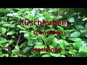Wann Schneidet Man Kirschlorbeer : in dieser anleitung erfahren sie alles wichtige zum kirschlorbeer schneiden wir zeigen ihnen ~ Watch28wear.com Haus und Dekorationen