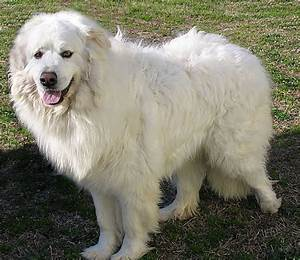 types of large white dogs fgqSW4ANzS1yFxQF5xngY 7bEw2VkvaffAHmEFBCmAs