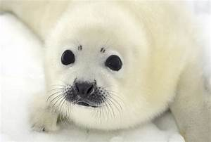 Harp Seal Pup | Baby Seal