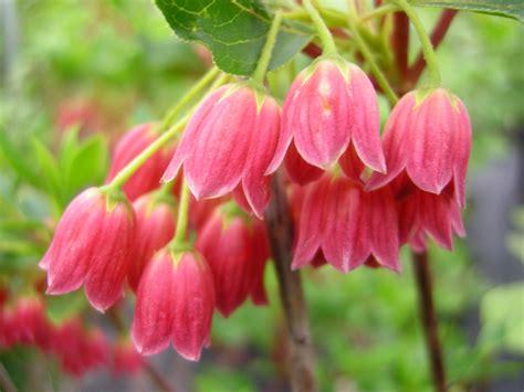 plants for shade viburnum plicatum var tomentosum mariesii carolyn s shade gardens