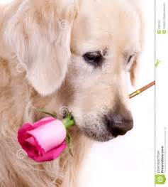 flowers roses dog with flower stock photography image 27987002