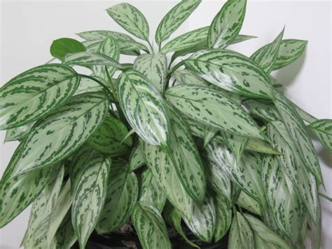 chinese evergreen  easy  grow houseplant