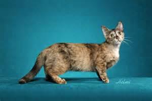 munchkin cat cats and kittens munchkin cat