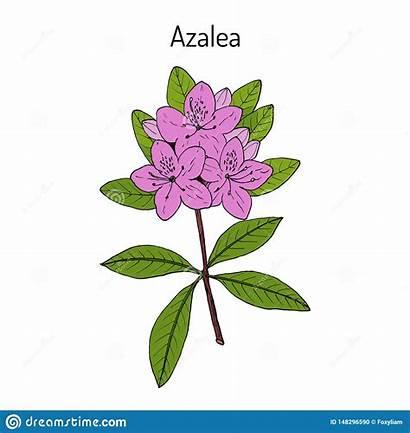 Ornamental Azalea Plant Rhododendron Obtusum Medicinal Heilpflanze