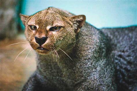donde vive el jaguarundi actualizado
