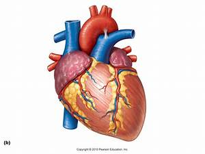 Real Human Heart Clipart - ClipartXtras