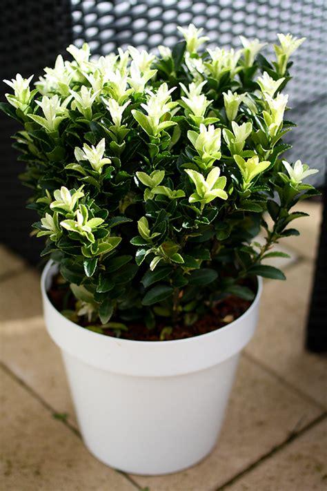 la collection globe planter fusain du japon paloma blanca