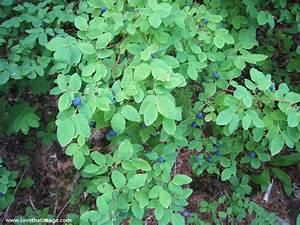 Wild blueberries   Love That Image