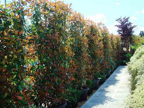 Climbing Plants Best Evergreen Climbers Uk Garden Centre
