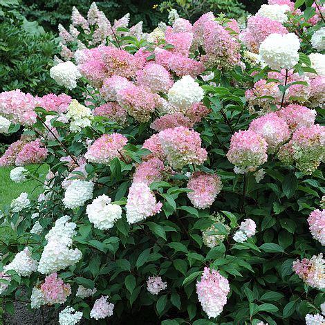 hortensia vanille fraise hydrangea paniculata vanille fraise plants thompson