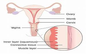 Vagina   Embryology - Anatomy - Histology