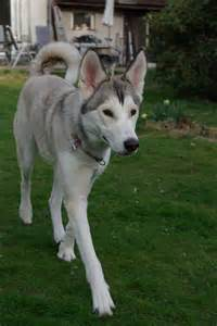 Siberian Husky Wolf Mix