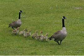 canadian geese pictures flying photos - Blue wallpaper ...