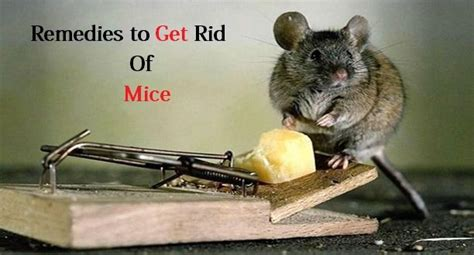how to get rid of mice fast