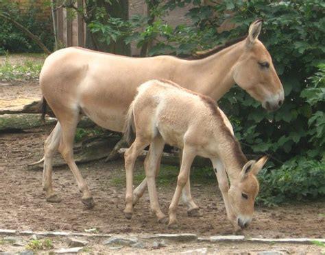 onager equus hemionus