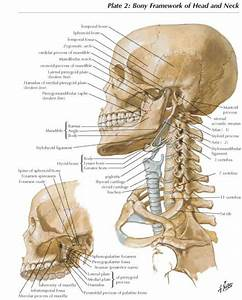 Lateral Aspect Of The Skull And Cervical Spine