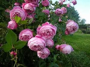 Rose Mein Schöner Garten : 39 la reine victoria 39 1872 bourbon rose historische ~ Lizthompson.info Haus und Dekorationen