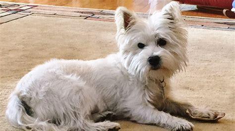 where to adopt a puppy rescue adoption how my westie rescue today com