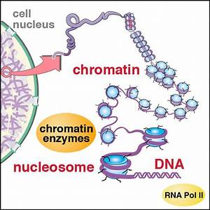 Diagram Of Chromatin : tan lab at penn state ~ A.2002-acura-tl-radio.info Haus und Dekorationen