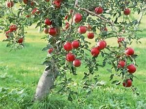 Apple Plants  Fruit Plants