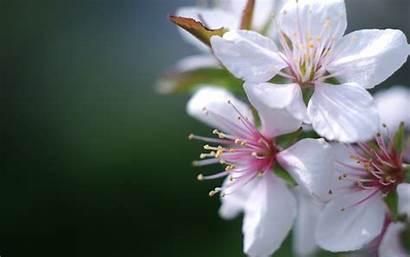 Wallpapers Blossom Apple Flores Background Flowers Desktop