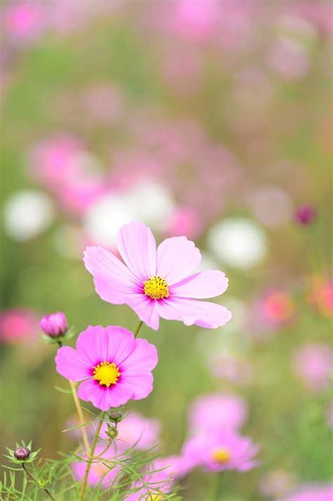 natural planta cosmos flor foto gratuita  pixabay