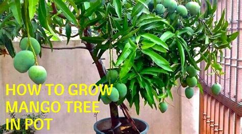 grow mango tree  pot home gardeners