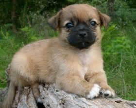 pekingese chihuahua mix puppies the universe of animals