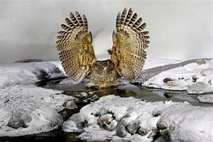 Blakiston`s Fish Owl, Bubo Blakistoni, Largest Living ...