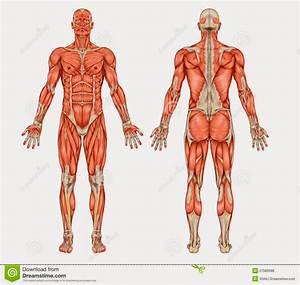 Sistema Muscular Del Cuerpo Humano