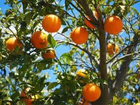 Arbre A Fruit : photo gratuite oranges fruits oranger agrumes image gratuite sur pixabay 1117628 ~ Melissatoandfro.com Idées de Décoration