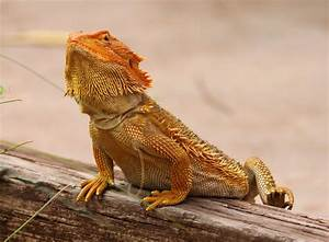 Richard Waring's Birds of Australia: Bearded Dragon eats ...