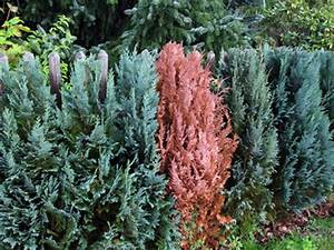 Lebensbaum Wird Braun : thuja schneiden thuja stecklinge schneiden thuja hecke ~ Lizthompson.info Haus und Dekorationen