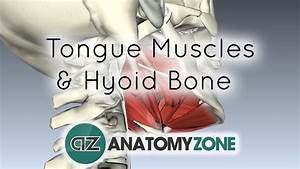 Tongue Muscles And The Hyoid Bone  U2022 Muscular