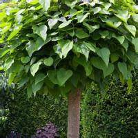 Catalpa Bignonioides Nana Pflege : catalpa bignonioides nana for sale indian bean tree nana ~ Lizthompson.info Haus und Dekorationen