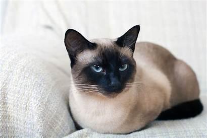 Siamese Cat Chat Breed Mon Ennuie Faire