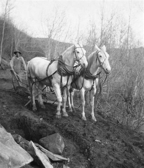 horse draft history muscle horses logging clydesdale percheron mechanical 1900s belgian canadian canada mechanized workhorses early