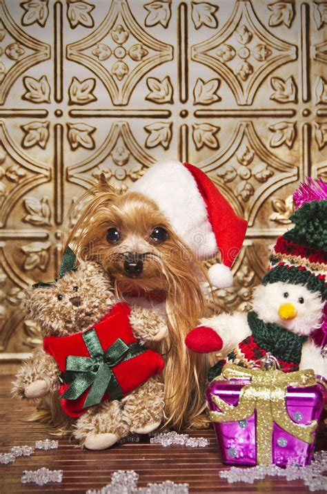 Terrier Dressed As Santa Claus Stock Photo Terrier Stock Photo Image Of