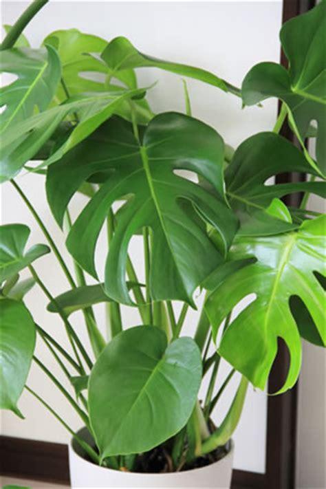 Philodendron Arten Bilder by Baumfreund Philodendron Arten Und Pflege Anleitung