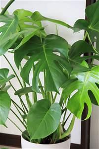 Grünpflanzen Für Dunkle Räume : zimmerpflanzen f r dunkle standorte und k hle r ume ~ Michelbontemps.com Haus und Dekorationen