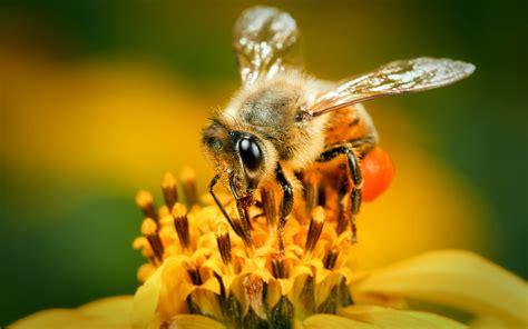 abeille full hd fond decran  arriere plan