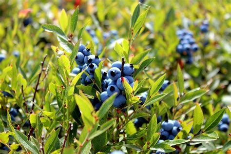 (Wild) Blueberry Fields Forever - fANNEtastic food ...